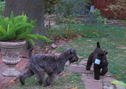 Diana's Kerries, Kerry Blue Terrier, Puppies, Kerry Blue Puppies at Play