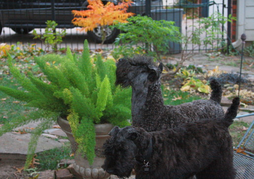 Color of Kerry Blue Terrier