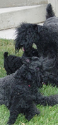 Diana's Kerries, Kerry Blue Terrier, Puppies, Socialization